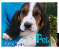 Basset hound puppy price in Nashik, Basset hound puppy for sale in Nashik