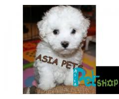 Bichon frise puppy price in Nashik, Bichon frise puppy for sale in Nashik