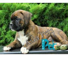 Boxer puppy price in Nashik, Boxer puppy for sale in Nashik