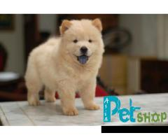 Chow chow puppy price in Nashik, Chow chow puppy for sale in Nashik