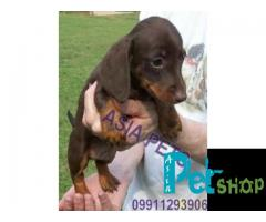 Dachshund puppy price in Nashik, Dachshund puppy for sale in Nashik