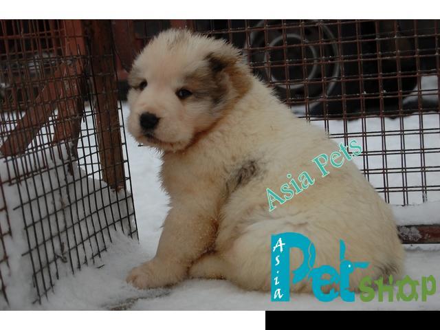 Alabai puppy price in Nashik , Alabai puppy for sale in Nashik