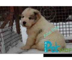 Alabai puppy price in Nashik , Alabai puppy for sale in Nashik