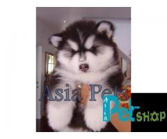 Alaskan malamute puppy price in Nashik , Alaskan malamute puppy for sale in Nashik