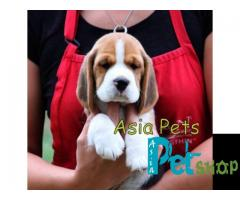 Beagle puppy price in Nashik , Beagle puppy for sale in Nashik
