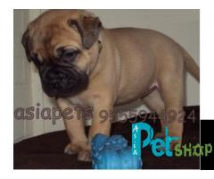 Bullmastiff puppy price in Nashik, Bullmastiff puppy for sale in Nashik