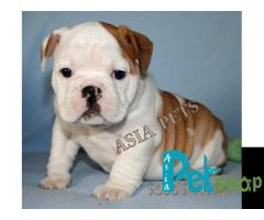 Bulldog puppy price in Nashik, Bulldog puppy for sale in Nashik