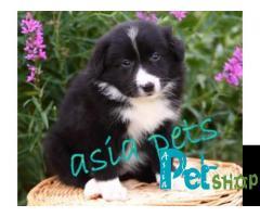 Collie puppy price in Nashik, Collie puppy for sale in Nashik