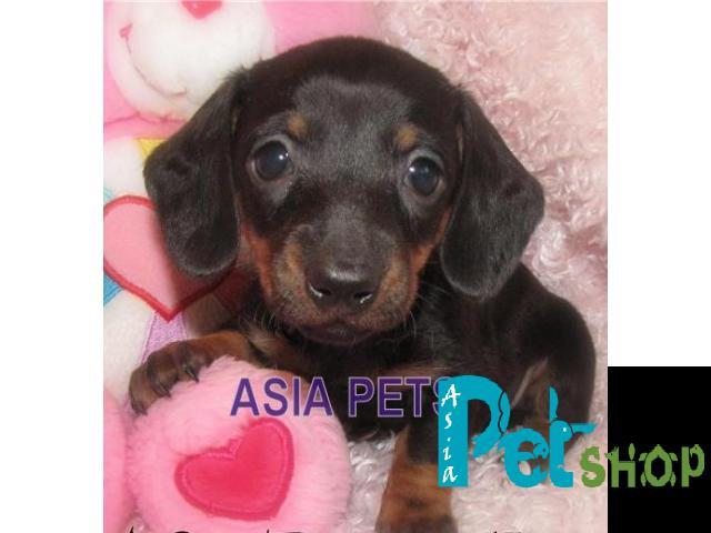 Dachshund puppy price in Nashik, Dachshund puppy for sale in Nashik