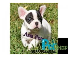 French Bulldog puppy price in Nashik, French Bulldog puppy for sale in Nashik