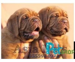 French Mastiff puppy price in Nashik, French Mastiff puppy for sale in Nashik