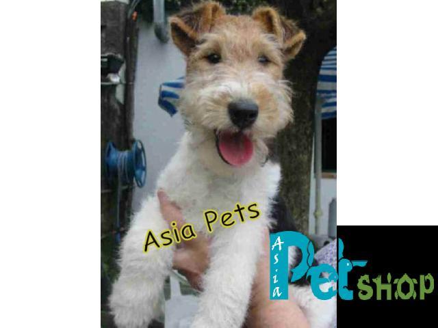 Fox Terrier puppy price in Nashik, Fox Terrier puppy for sale in Nashik