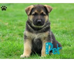 German Shepherd puppy price in Nashik, German Shepherd puppy for sale in Nashik