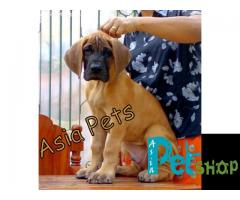 Great dane puppy price in Nashik, Great dane puppy for sale in Nashik