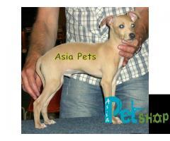 Greyhound puppy price in Nashik, Greyhound puppy for sale in Nashik