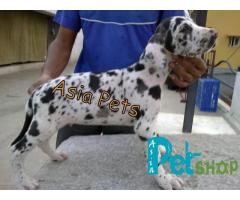 Harlequin great dane puppy price in Nashik, Harlequin great dane puppy for sale in Nashik