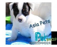 Jack russell terrier puppy price in Nashik, jack russell terrier puppy for sale in Nashik