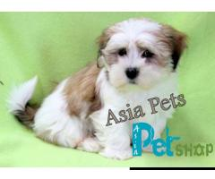 Lhasa apso puppy price in Nashik, Lhasa apso puppy for sale in Nashik