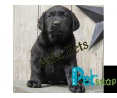 Labrador puppy price in Nashik, Labrador puppy for sale in Nashik