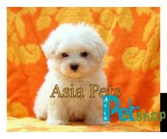 Maltese puppy price in Nashik, Maltese puppy for sale in Nashik