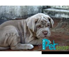 Neapolitan mastiff puppy price in Nashik, Neapolitan mastiff puppy for sale in Nashik
