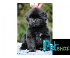 Newfoundland puppy price in Nashik, Newfoundland puppy for sale in Nashik