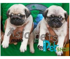 Pug puppy price in Nashik, Pug puppy for sale in Nashik