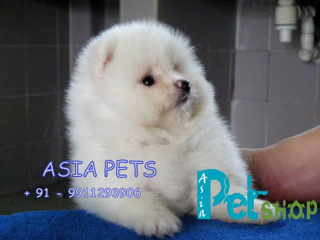Pomeranian puppy price in Nashik, Pomeranian puppy for sale in Nashik