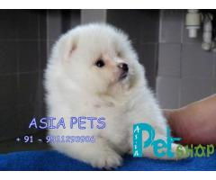 Pomeranian puppy price in Nashik, Pomeranian puppy for sale in Nashik