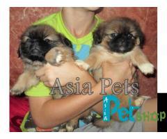 Pekingese puppy price in Nashik, Pekingese puppy for sale in Nashik