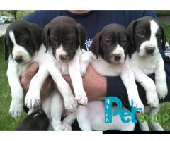 Pointer puppy price in Nashik, Pointer puppy for sale in Nashik