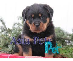 Rottweiler puppy price in Nashik, Rottweiler puppy for sale in Nashik