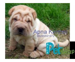 Shar pei puppy price in Nashik, Shar pei puppy for sale in Nashik