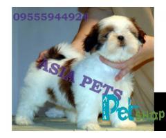 Shih tzu puppy price in Nashik, Shih tzu puppy for sale in Nashik