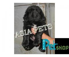 Tibetan mastiff puppy price in Nashik, Tibetan mastiff puppy for sale in Nashik