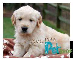Golden Retriever For Sale In India, Golden Retriever Price In India, Golden Retriever  Puppies Cost