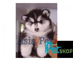 Alaskan malamute puppy price in Pune, Alaskan malamute puppy for sale in Pune