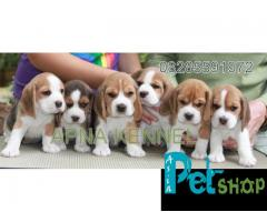 Beagle puppy price in Pune, Beagle puppy for sale in Pune