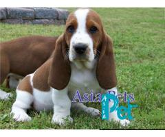 Basset hound puppy price in Pune, Basset hound puppy for sale in Pune