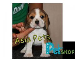 Beagle puppy price in patna, Beagle puppy for sale in patna
