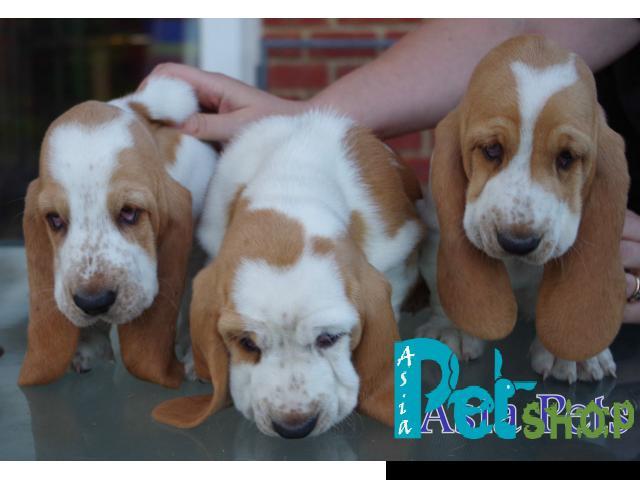 Basset hound puppy price in patna, Basset hound puppy for sale in patna