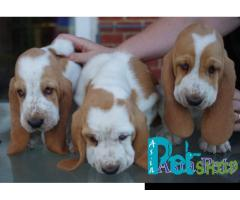 Basset hound puppy price in patna, Basset hound puppy for sale in patna