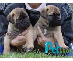 Bullmastiff puppy price in Pune, Bullmastiff puppy for sale in Pune