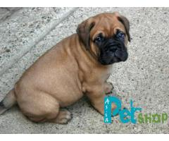 Bullmastiff puppy price in patna, Bullmastiff puppy for sale in patna