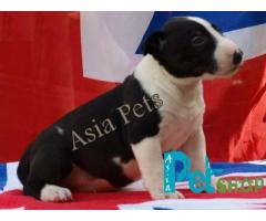 Bullterrier puppy price in Pune, Bullterrier puppy for sale in Pune
