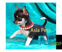 Chihuahua puppy price in Pune, Chihuahua puppy for sale in Pune