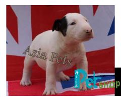 Bullterrier puppy price in patna, Bullterrier puppy for sale in patna
