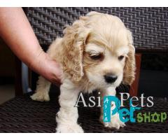 Cocker spaniel puppy price in Pune, Cocker spaniel puppy for sale in Pune