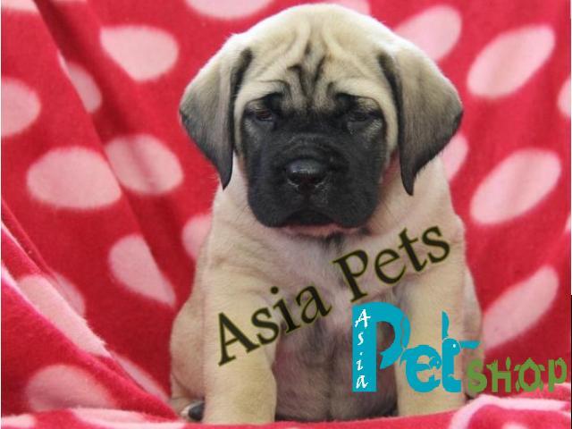 English Mastiff puppy price in patna, English Mastiff puppy for sale in patna