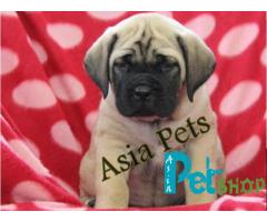 English Mastiff puppy price in patna, English Mastiff puppy for sale in patna